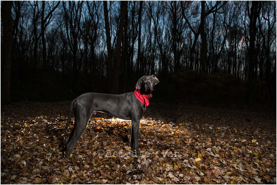 Bordentown Township,Great Dane,Photo By Deirdre Ryan Editoral and Commercial Photography,autumn,dog portrait,fall,golden hour,puppy,sunset,
